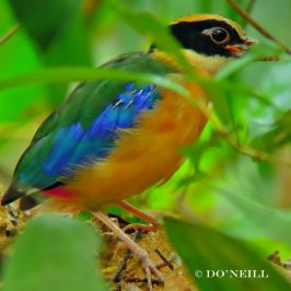 ©Fledgling-juvenile Blue-winged Pitta Foraged Vermin at Ant-hill