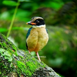 © 33 Days Fledgling Wonder – Blue-Winged Pitta 2017 (Batch 1) Part 1