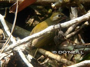 ©A New Photographic Record: Jv. Malaysian Honeyguide in Borneo