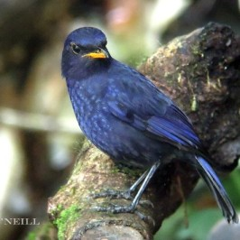 © Malayan Whistling Thrush Courts Death (Part 2)