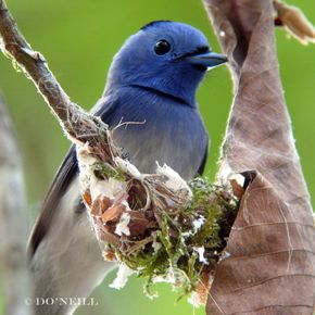 © Nest Building 2 by Male Black-naped Monarch
