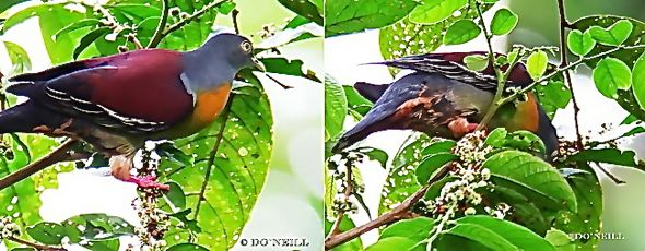 © Go Fruity With Wild Birds at Sepilok - N. Borneo