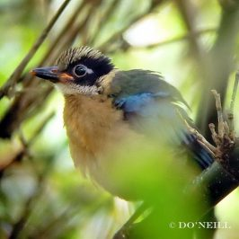© 43Days Breeding Moments in Blue-winged Pitta (Batch2) Part 2