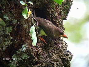 ©INSECT COURTS DEATH WITH BROWN BARBET. PART 4