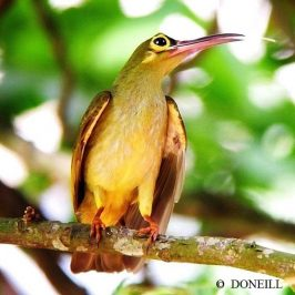 ©Juvenile Spectacled Spiderhunter Displays Begging Behaviour
