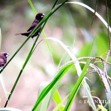 © Scaly-Breasted Munia Eats Canine Excreta at Sepilok – N. Borneo