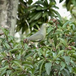 Pink-necked Green-pigeons feeding on Singapore Rhododendron fruits