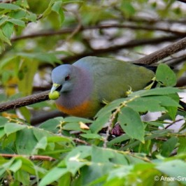 Pink-necked Green Pigeon – fruit feeding