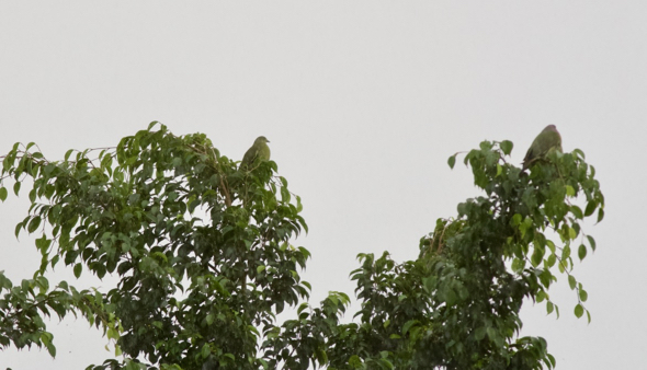 Pink-necked Green-pigeons: Pre-roost gathering in the rain and after