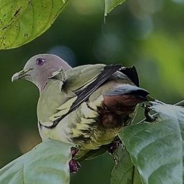Pink-necked Green-pigeon Expels Indigestable Seed