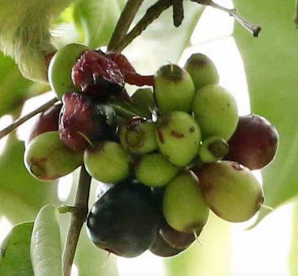 PNGP-fruits-[NeoTiangPee]-(5)