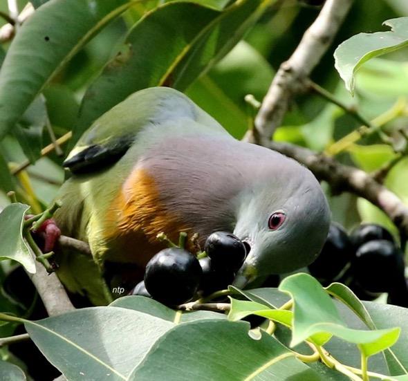 PNGP-fruits [NeoTiangPee]