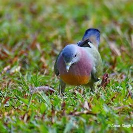 Pink-necked Green-pigeon – ground feeding
