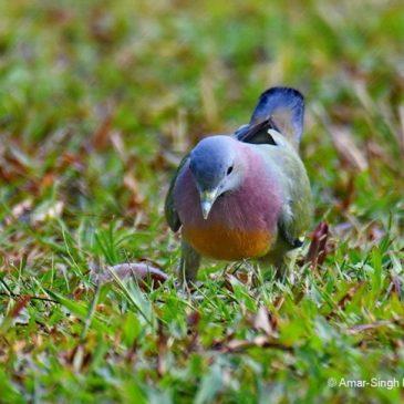 Pink-necked Green-pigeon – ground feeding