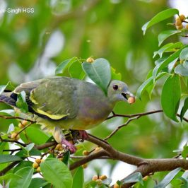 Pink-necked Green-pigeon – immature male and female