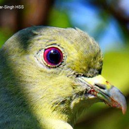 Pink-necked Green Pigeon – iris