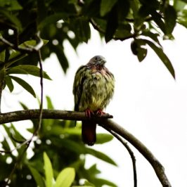 Pink-necked Green-pigeon in the rain
