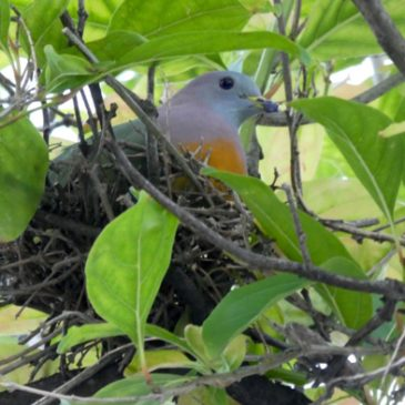 Nesting of the Pink-necked Green-pigeon