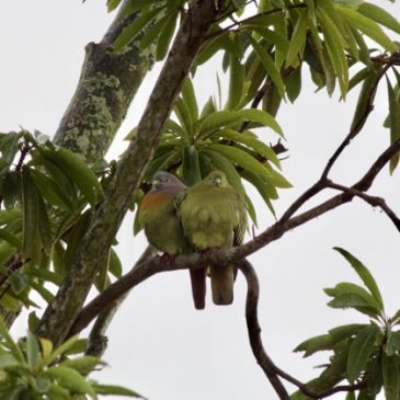 A pair of Pink-necked Green-pigeons on a wet evening