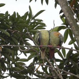 Pink-necked Green-pigeon: Cloacal kiss and after