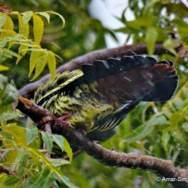 What do birds do when it rains? – Pink-necked Green Pigeons