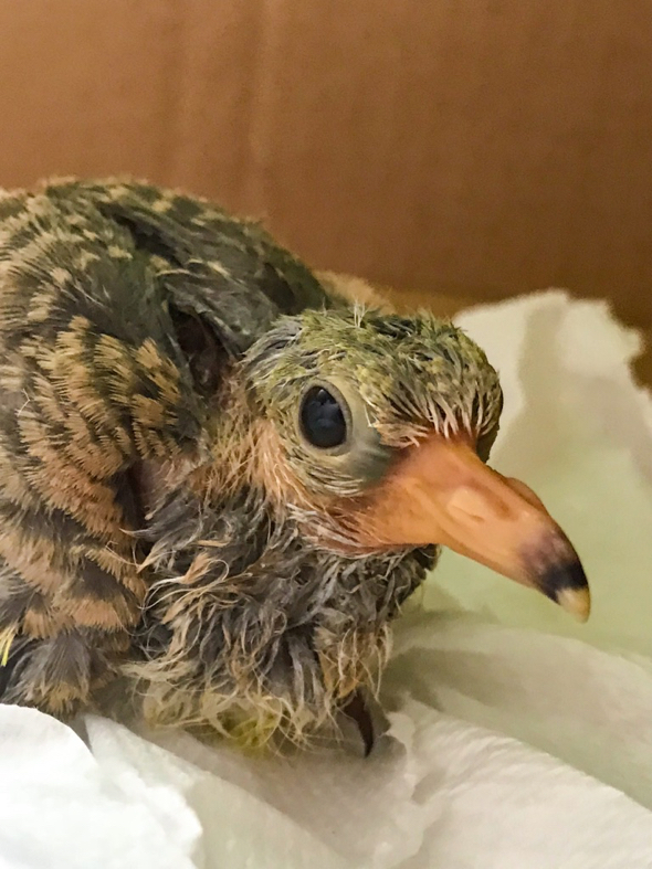 Close up of Pink-necked Green-pigeon chick.