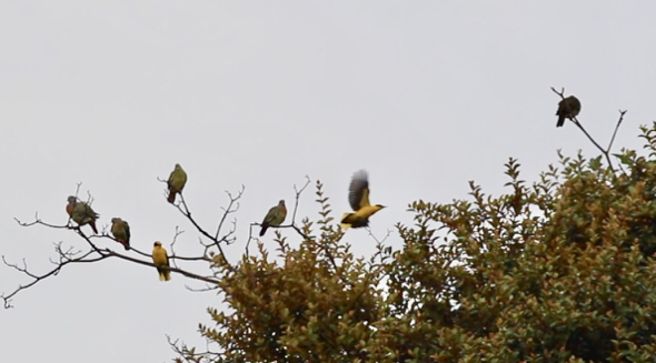 Orioles joined green-pigeons in enjoying a drizzle