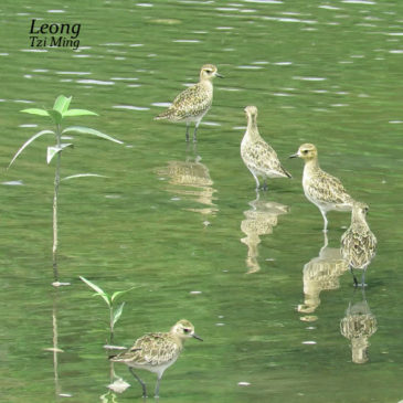 Pacific Golden Plovers bathing and preening