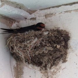 PACIFIC SWALLOW – NESTING UNDER JETTY