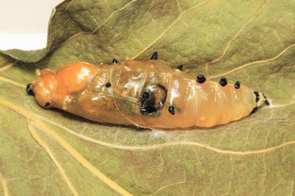 PaintedJezebel-parasitised [JaniceAng]