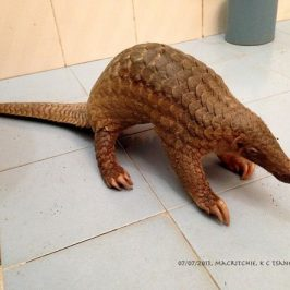 Save MacRitchie Forest: 17. A Pangolin came for a visit