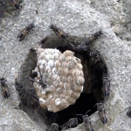 Activities around another Paper Wasp colony