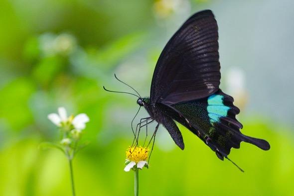 Papilla paris nakaharai (Photo credit: Wikipedia Commons)