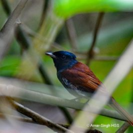 A female Asian Paradise-flycatcher