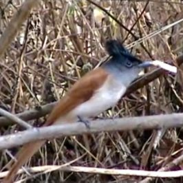 Asian Paradise-flycatcher catches a butterfly