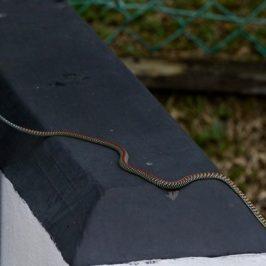 Paradise Flying Snake (<em>Chrysopelea paradisi</em>)
