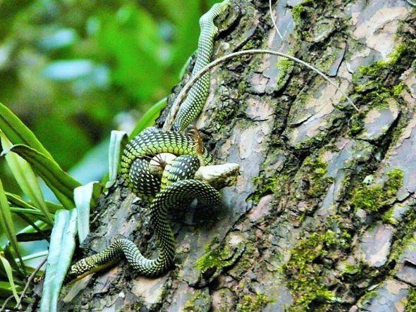 Paradise Tree Snake Bird Ecology Study Group