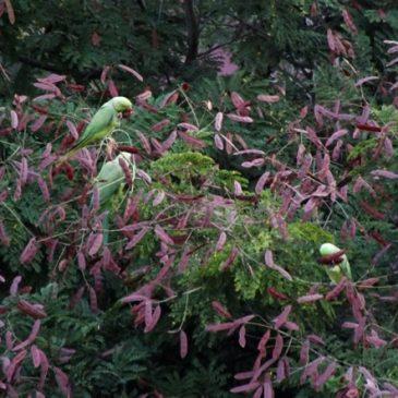 Rose-ringed Parakeet eating Yellow Flame seeds