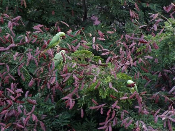 Peltophorum pterocarpum fr [FrancisLim]