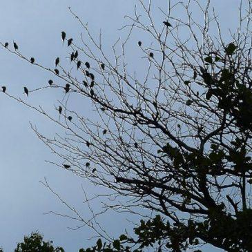Long-tailed Parakeet in comfort behaviour
