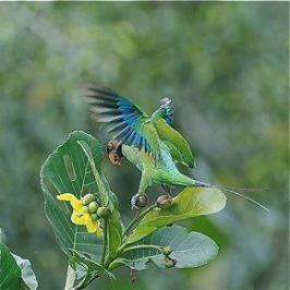 Long-tailed Parakeet eating fruits of yellow simpoh