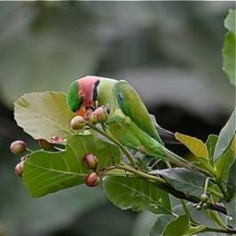 Long-tailed Parakeet eating fruits of yellow simpoh