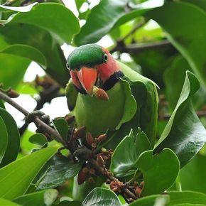 Long-tailed Parakeets eating tropical mistletoe fruits