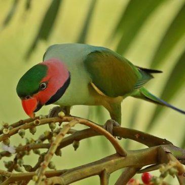 Long-tailed Parakeet eating MacArthur palm fruits