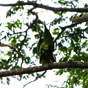 Long-tailed Parakeet copulating