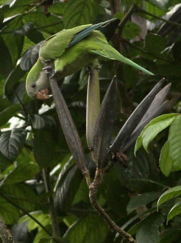 ParakeetMk-AfricanTulip [ThongChowNgian] 1