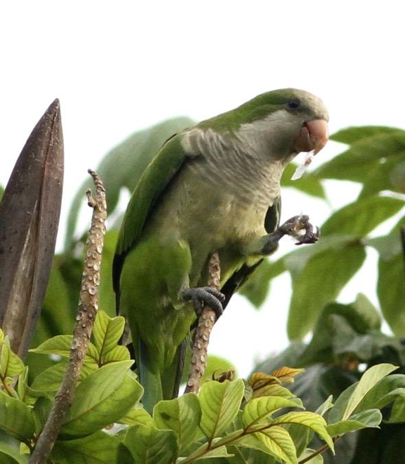 ParakeetMk-AfricanTulip [ThongChowNgian] 2