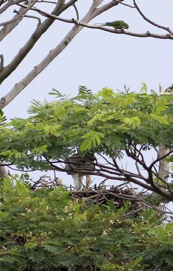 ParakeetMk-AfricanTulip [ThongChowNgian] 5