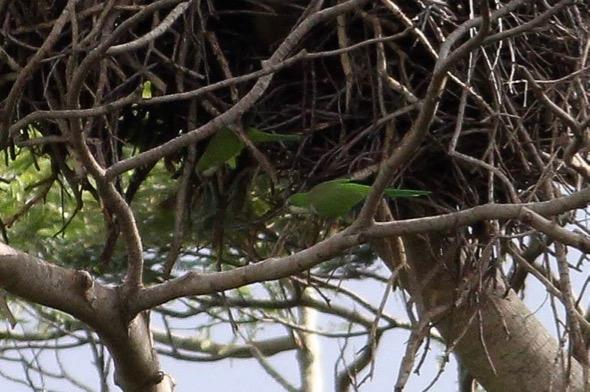ParakeetMk-AfricanTulip [TommyLeong] 4