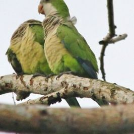 Monk Parakeets in Singapore